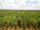 AgriLife Research study opens doors for increases in Texas corn yields, aflatoxin resistance 2