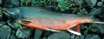 Alaska fish adjust to climate change by following the food