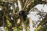 Chimpanzees found to survive in degraded and human-dominated habitats 2