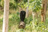 Chimpanzees found to survive in degraded and human-dominated habitats 3