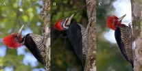 Deceptive woodpecker uses mimicry to avoid competition