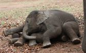 Elephants born when mothers are stressed age faster and produce fewer offspring 2