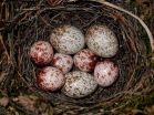 Female cowbirds pay attention to cowbird nestling survival, study finds 2