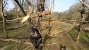 Not on my watch: Chimp swats film crew's drone