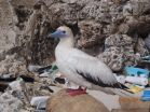 Plastic in 99 percent of seabirds by 2050