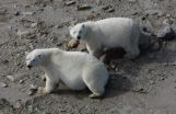 Polar bears may survive ice melt, with or without seals 2