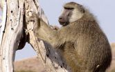 Relationship between social status and wound-healing in wild baboons