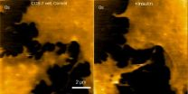 Scientists develop atomic force microscopy for imaging nanoscale dynamics of neurons