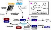 Small molecules change biological clock rhythm 2
