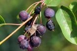 Stink bugs have strong taste for ripe fruit