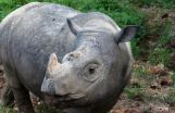 The Sumatran rhino is extinct in the wild in Malaysia