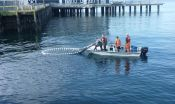 Young chum salmon may get biggest nutrition boost from Elliott Bay restored beaches 3